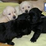 Cuccioli neri e bianchi